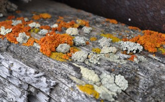 Lichens on mining relics